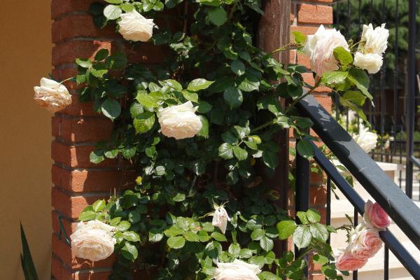 Alle Rose