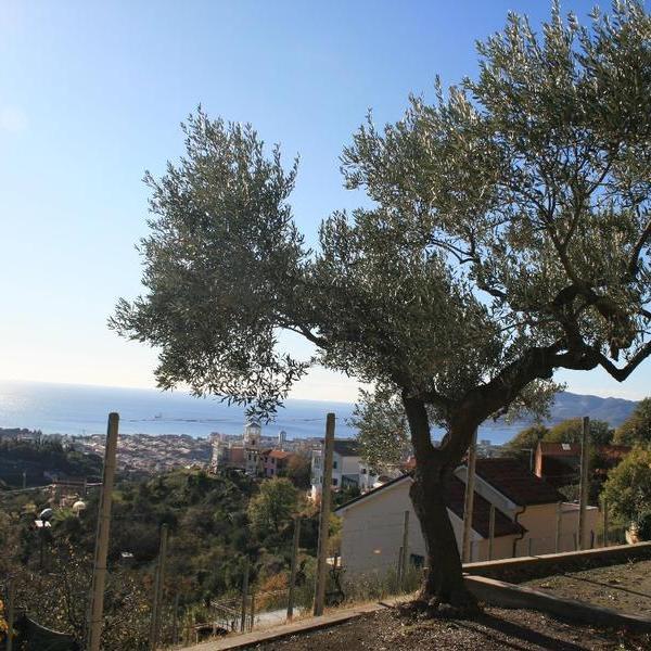 l'ulivo sul mare