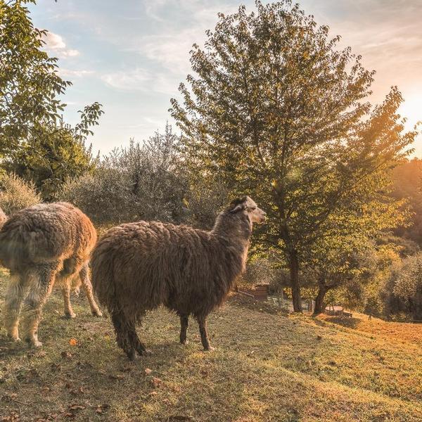 agriturismo degli alpaca